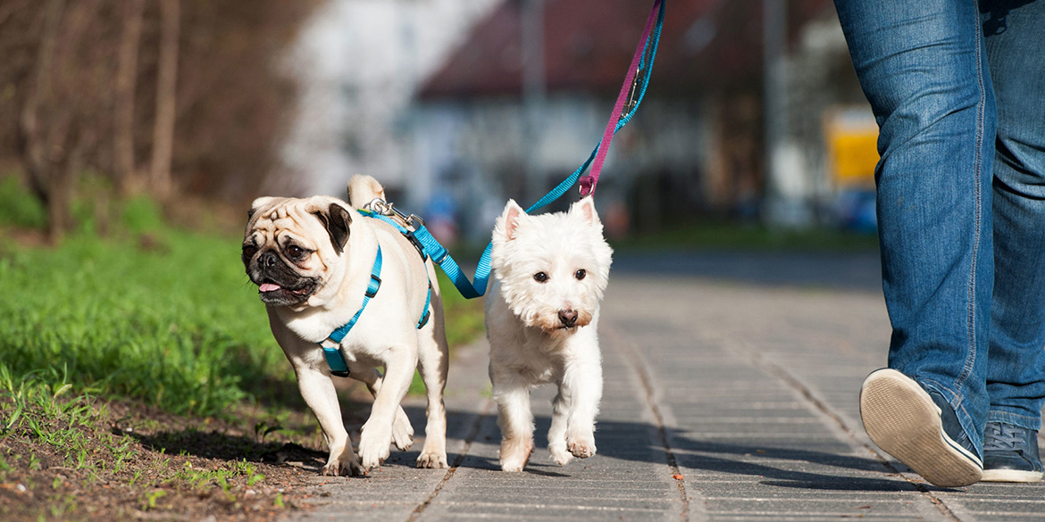 2-dogs-walking-on-leash